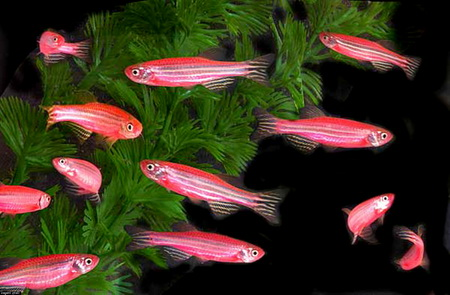 UNDATED: GloFish are seen swimming around a fish tank in this undated handout photo. The fish, which were genetically engineered to glow, were originally intended to help scientist study pollution but are now being marketed as the first genetically altered house pet. (Photo courtesy of GloFish/via Getty Images)