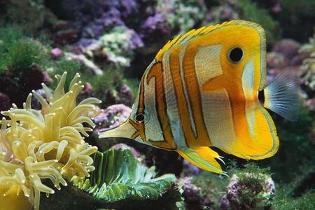 Меднополосая рыба-бабочка