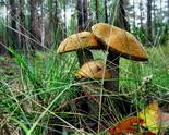 Где и когда собирать грибы: подосиновики