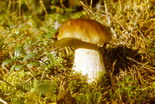 Где и когда собирать грибы: белые