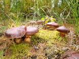 Где и когда собирать грибы: маслята